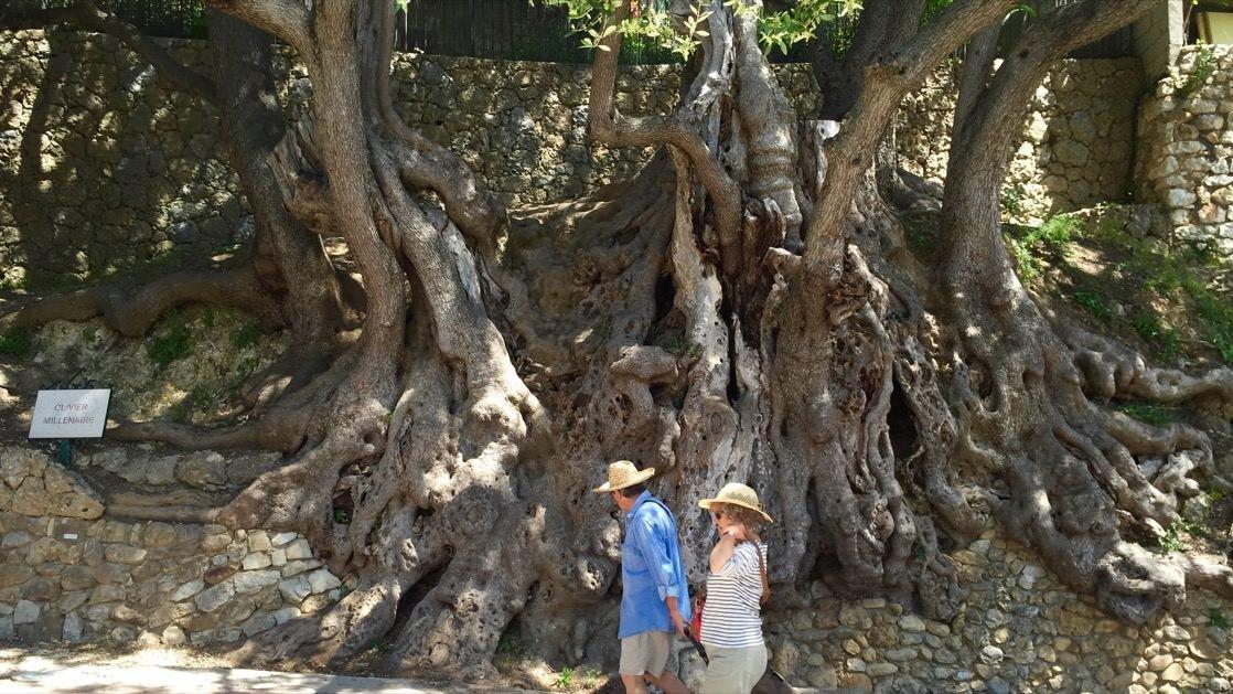 Ponad 1000-letnie drzewo oliwne w Roquebrune-Cap-Martin