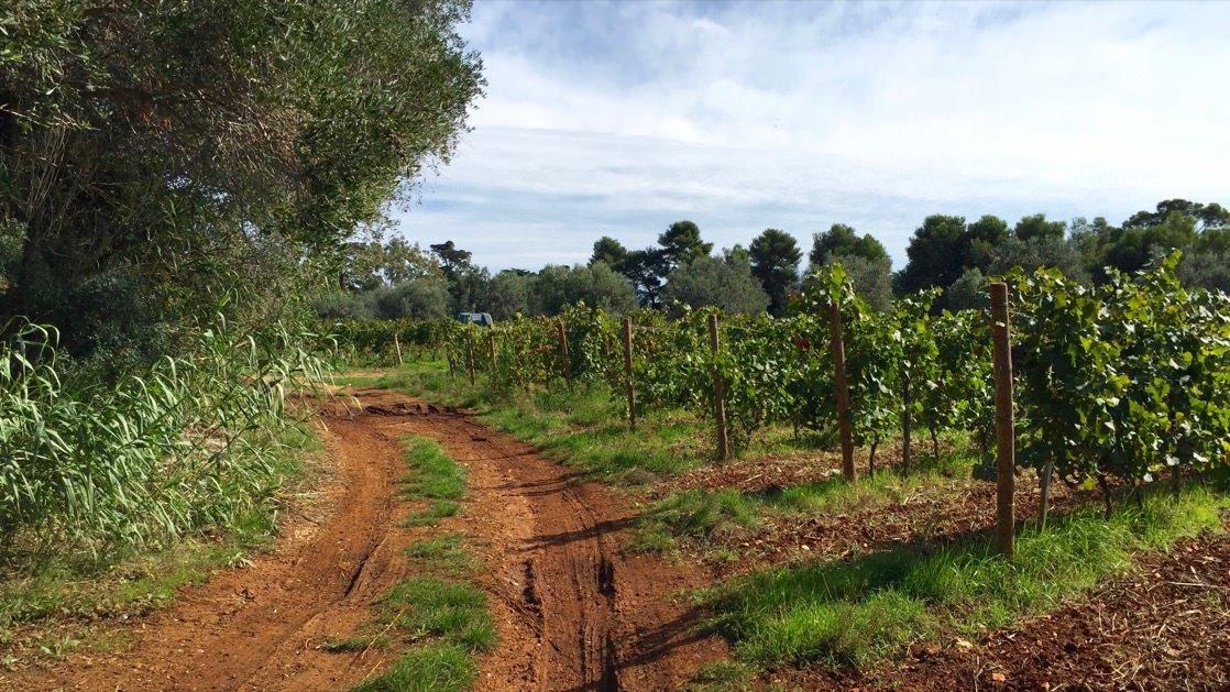 Winorośla na wyspie św. Honorata, z których Cystersi produkują lokalne wino.