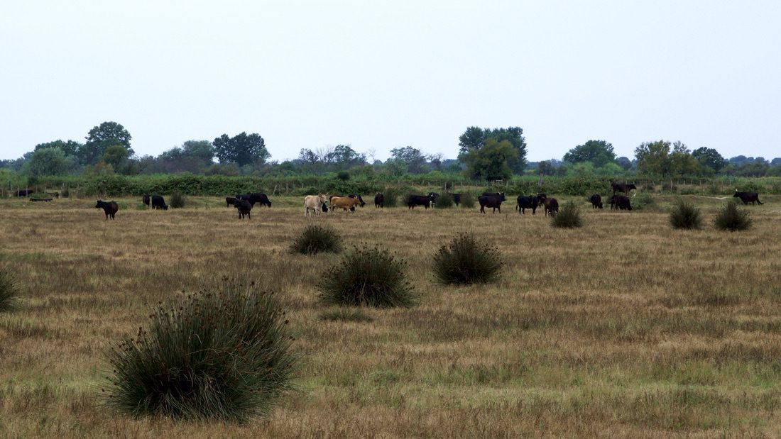 Byki z Camargue