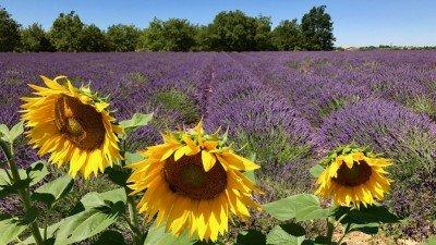Lawendowe pola blisko kanionu Verdon. Kiedy kwitnie lawenda? Te konkretnie pola najlepiej odwiedzić na początku lipca.