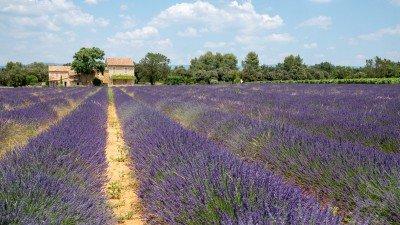 Zwiedzanie Prowansji to nie tylko jej urocze miasteczka, ale także wspaniałe pola lawendy i gaje oliwne.