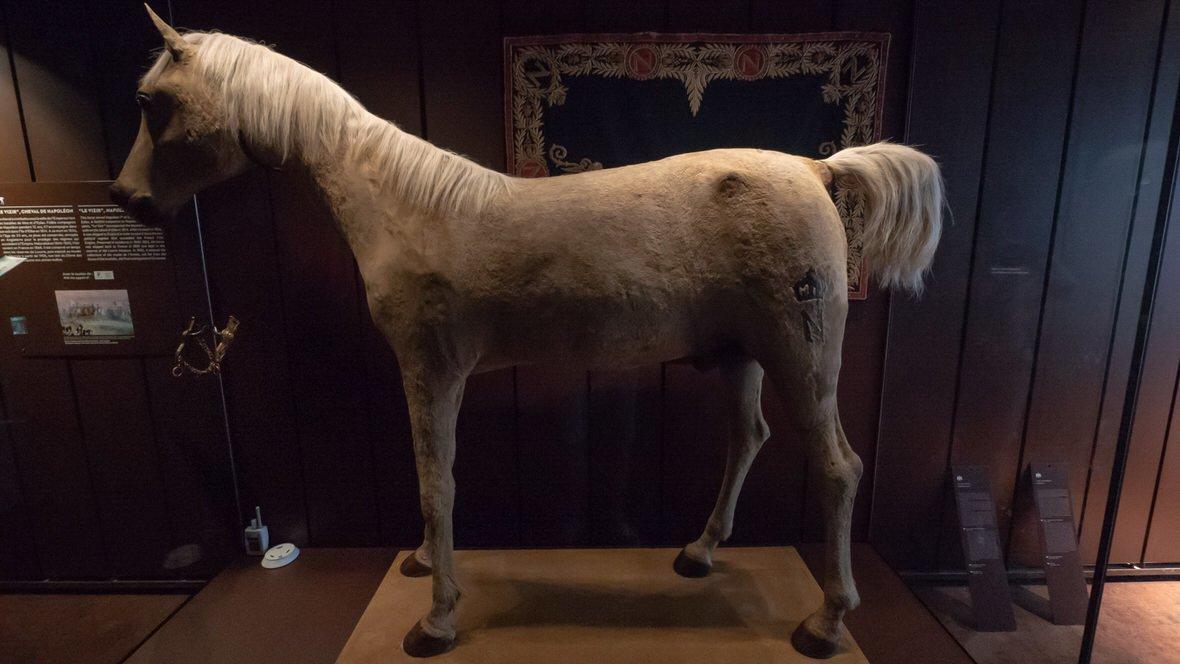 Vizir, wypchany koń Napoleona Bonaparte. Muzeum Armii w Paryżu